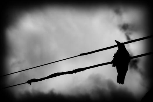 cuervoss